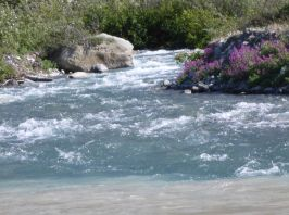 A freshwater stream enters the Alsek