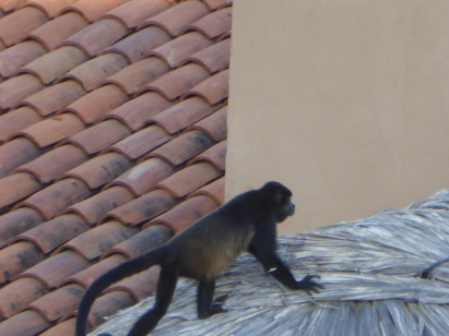 A howling monkey on a thatched roof in our garden