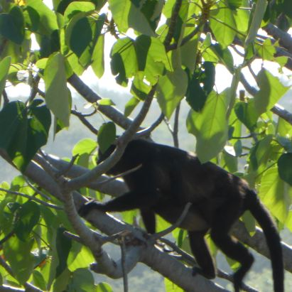Howling monkey in a nearby tree